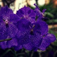Орхидеи :: Геннадий Коробков