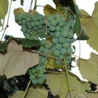 Виноград :: Yana Kelekhsaeva