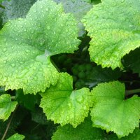 капли дождя на листьях винограда :: Андрeй Владимир-Молодой