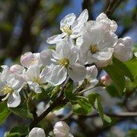 Яблонька в цвету :: Маргарита Королева