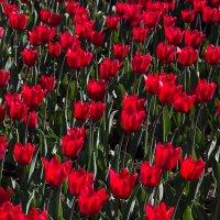 тюльпаны :: Светлана Фомина