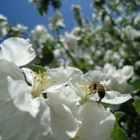 Яблони в цвету... :: Ирина