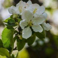Цветущие яблони! :: Павел Данилевский