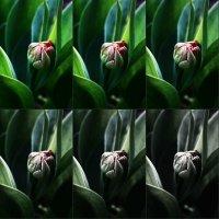 тюльпан :: Евгения Досина