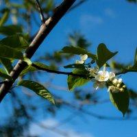 Опять весна, черёмуха цветёт... :: Мила Солнечная