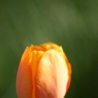 весна в душе тюльпаны расцвели :: Алексей Рябухин