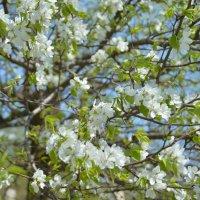 Весна.Первое цветение. :: Александр Салов