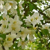 Яблони в цвету - весны творенье. :: Helen Helen