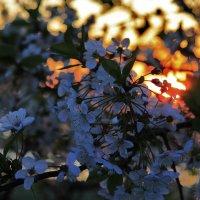 цветение вишни :: Вадим Виловатый