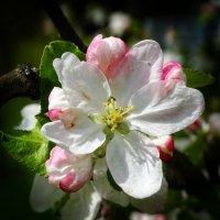 Цветок яблони :: Владимир Бровко