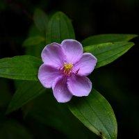 цветок :: Олег Хатефов