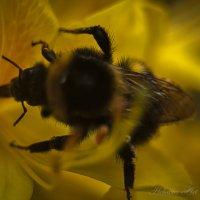 Пчелка :: Helavia *