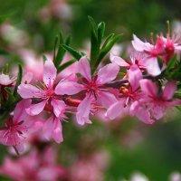 цветение миндаля :: Лидия Юсупова