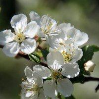 веточка вишни :: Лидия Юсупова