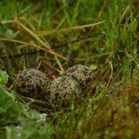 Гнездо чибиса :: Олег .