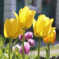 Тюльпаны :: Сергей Агеев