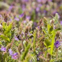 Цветочные поляны :: Ольга Семенова