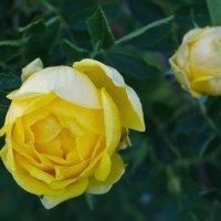 Желтая роза :: Виктория Мацук