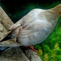 Молодой голубь..) :: Елена