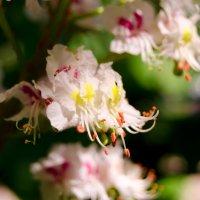 каштан цветёт :: Алёна Колесова