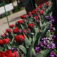 Тюльпаны :: Юлия Хазова