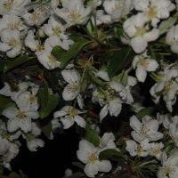 Яблоня цветет. :: Vladikom
