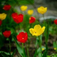 Тюльпаны :: Катя Бакшенева