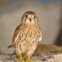 Крылатый хищник :: Анатолий Моргун