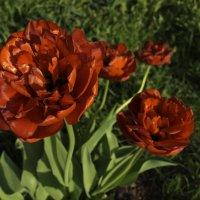 Тюльпаны :: Александра Андрющенко