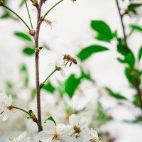 Цвет вишни.. :: Мария Худякова