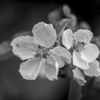 Черно белая яблоня :: Василий Либко