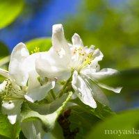 Яблоня в цвету :: Виктория Гаман