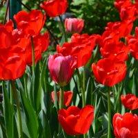 тюльпаны :: Виктор Хорьяков
