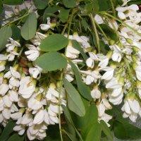 Белые акации цветы эмиграции :: Александр Скамо