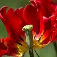 Майский тюльпан :: Алексей Ларин