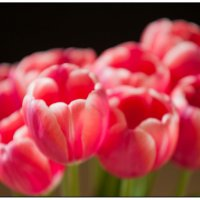 Тюльпаны :: Сергей Кузнецов