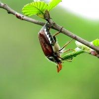 майский жук :: Marina Timoveewa