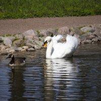Лебедь и селезень :: Sergey Lebedev