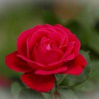 роза :: Евгений