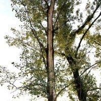Дерево после удара молнии. :: Виктор