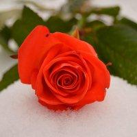 Роза :: Наталья (ShadeNataly) Мельник