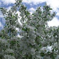 Яблоня цветет :: Анатолий