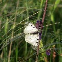 Бабочка в ковыле :: Marina Timoveewa
