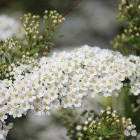 белые цветы :: Виктория Зуева