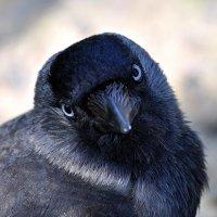 ворона :: Dorian Gray