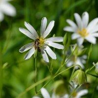 пчелка :: Леночка Болобан