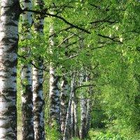 Березовая аллея весной :: Наталья Лунева