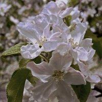 Яблоня, цветы крупно. :) :: Андрей