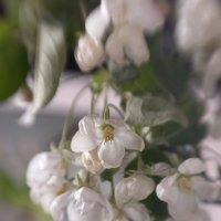 Яблоня цветет :: Татьяна Иванова