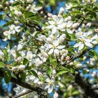 Яблони цветут :: Борис Устюжанин
